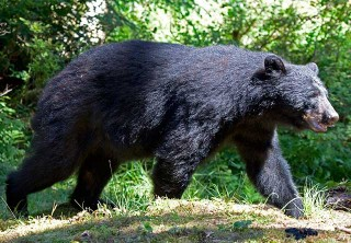 Photo of Black Bear at Neets Bay Hatchery